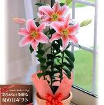【送料無料】モナリザ百合(ピンク)【母の日ギフトお届5/4-5/8】